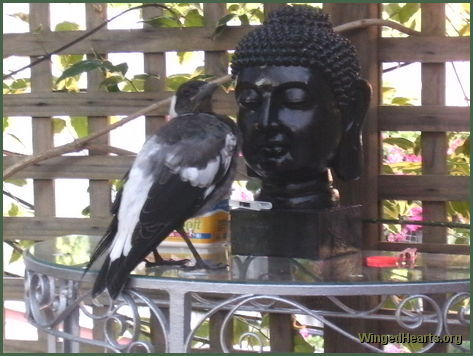 Aussie magpie meditating with Buddha