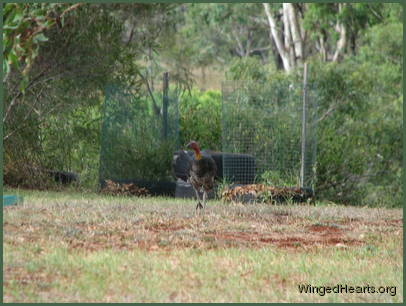 Here comes Buffy The Brush Turkey