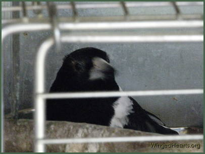 butcherbird recovering from conjunctivitis