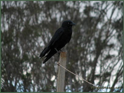 Crow sitting on a post