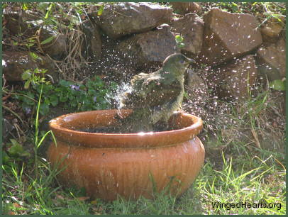 bowerbird at the water bath
