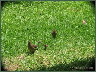 a family of quails