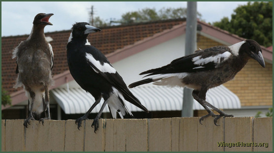 Daddy magpie with 2 juvis