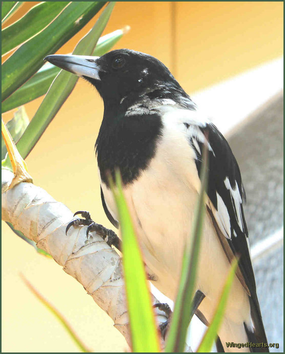young pied butcherbird