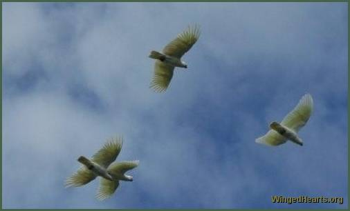 Freely soaring cockatoos