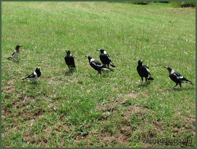 Maggie magpie and Butch butcherbird families